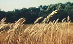 Campo de trigo