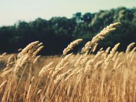 Gerst | De krachtvolle gezondheidsvoordelen van dit soort graan