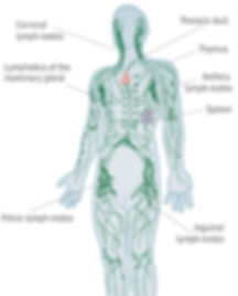 anatomy of human lymphatic system