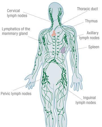 anatomy of human lymphatic system