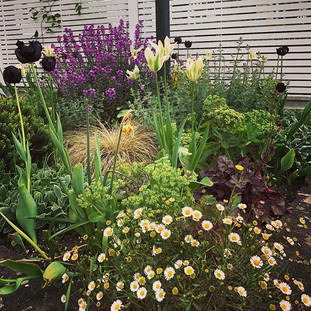 Spring border with erigerion, tulips and Erysimum 'Bowles Mauve'