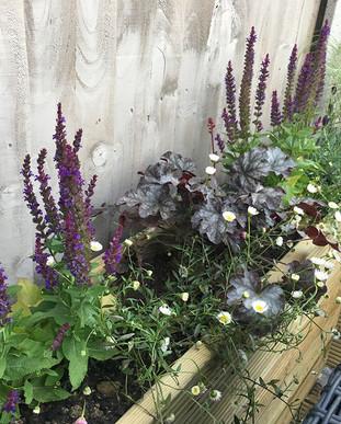New planting went into the raised beds on the new decking: Saliva Nemosa, Heuchera and Erigerion