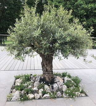 The client fell in love with this beautiful Olive tree so we planted it with dry aromatics underneath to give a flavour of the mediteratean