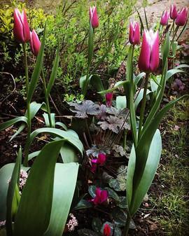 Tulips and Heuchera