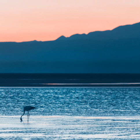 Flamingo In The Salar Of Atacama