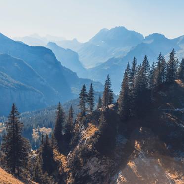 Pines of Switzerland