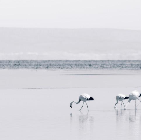 Flamingos de Atacama