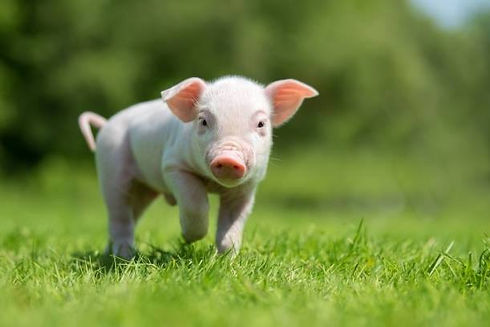 animal sanctuary pig