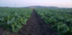 Lettuce Barn Furrow Horizontal.jpg
