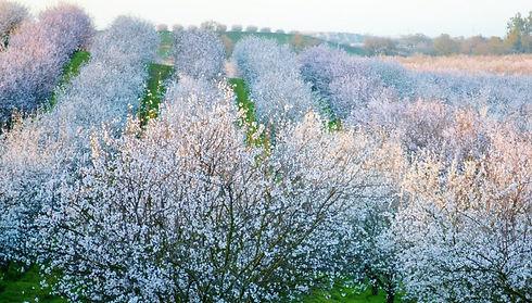Almond Blossom 1.jpg