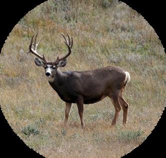 Quinlan-Mule-Deer.webp
