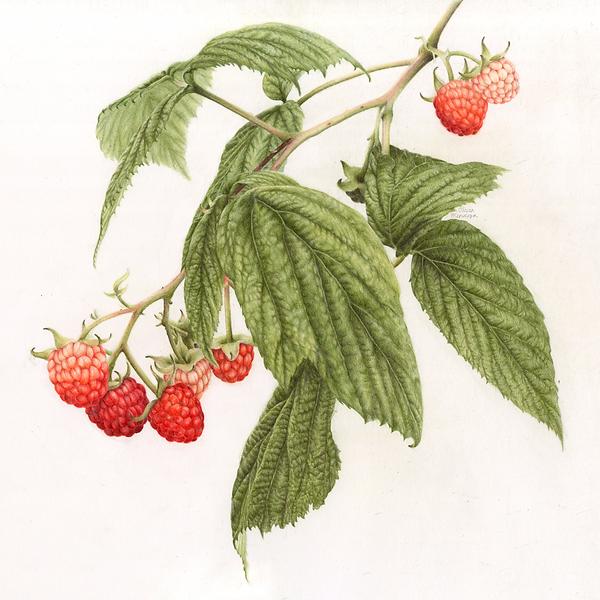 1-OliviaMendoza-Raspberries.png