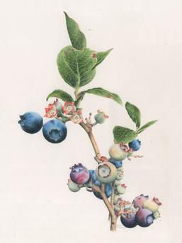 Blueberries No. 1