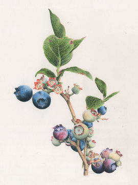 Blueberries No. 1