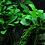 Thumbnail: Anubias Barteri var 'Petite' Tropica Pot