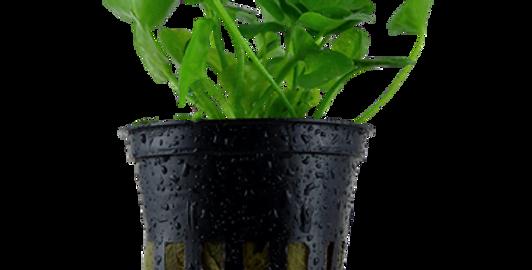 Nymphoides hydrophylla 'Taiwan' Tropica Pot