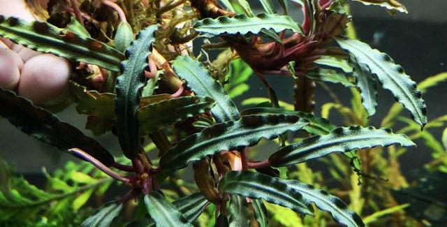 Bucephalandra Sp. Godzilla Green