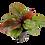 Thumbnail: Echinodorus 'Reni' Tropica Pot