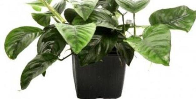 Anubias Barteri Caladiifolia Tropica XL Pot