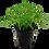 Thumbnail: Lilaeopsis Brasiliensis Tropica Pot