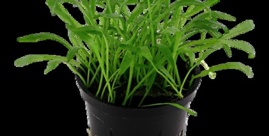 Lilaeopsis Brasiliensis Tropica Pot
