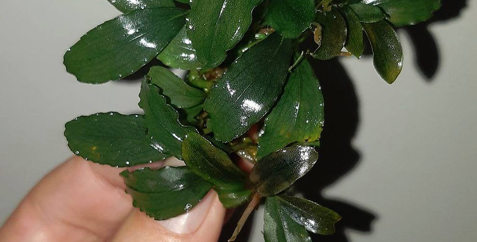Bucephalandra Sp #0001