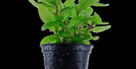Staurogyne repens Tropica Pot