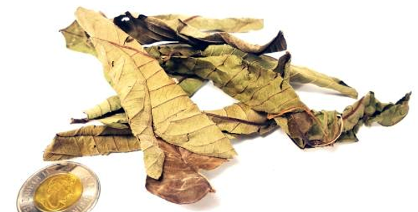 Yellow Guava Leaves