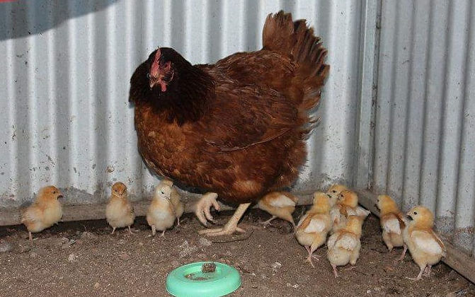 Mother Hen.jpg
