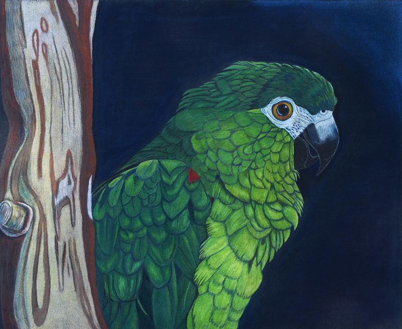 Charlie - Hahn's Macaw