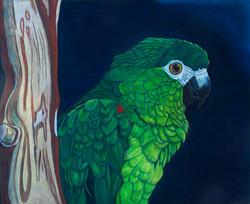Charlie - Hahn's Macaw