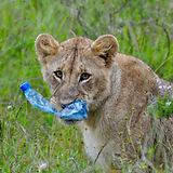 Kenya Lion.jpg