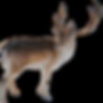 Reindeer-psd9675.png