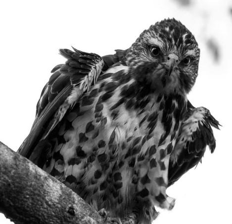 Droit dans les yeux (Aigle Buteo)
