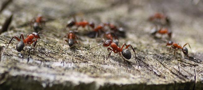 Wood ants.jpg