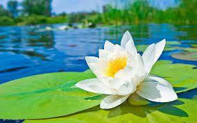 Flower of Guyana