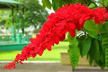 NATIONAL FLOWER OF T&T.jpg