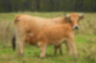 vache-veau-aubrac-046.jpg