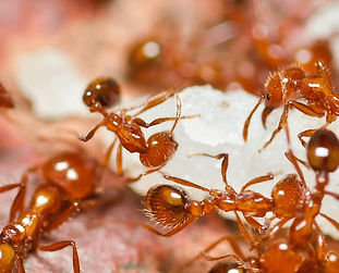 fire-ants-in-knoxville.jpg