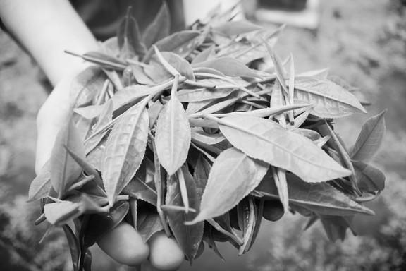 Freshly Plucked Tea Leaves