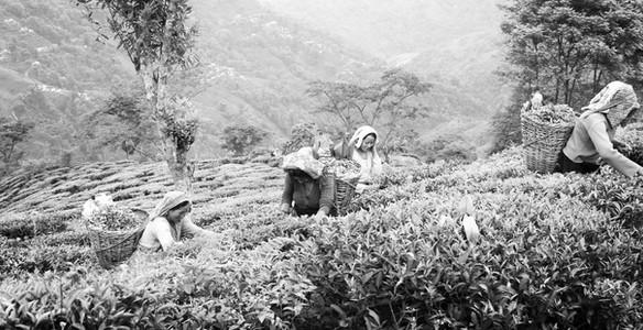 Tea Plucking in Darjeeling