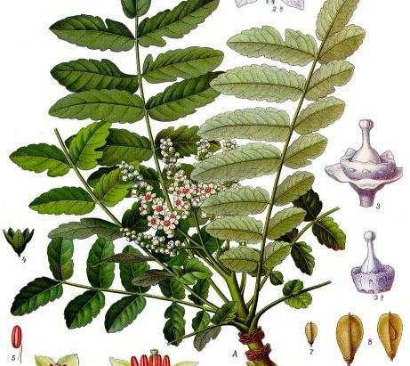 Le Boswellia serrata