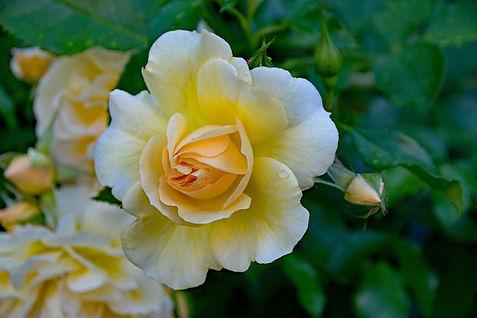 rose-2393778_960_720.jpg