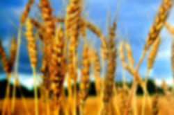 wheat-shavouotblur.jpg