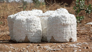 Commerce/Afrique: L'Etat ivoirien augmente le prix d'achat du coton pour la campagne 2019-20