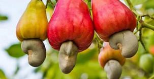 Commerce: L'USDA renforce la chaîne de valeur de l'anacarde dans trois pays d'Afrique de l'Ouest