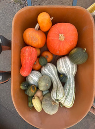 Squashes and Pumkins