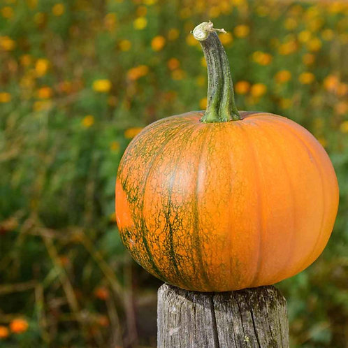 New England Sugar Pie Pumpkin