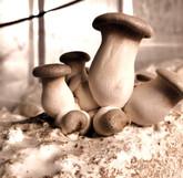 Mushroom CSA Add on By Sugar Moom Mushrooms