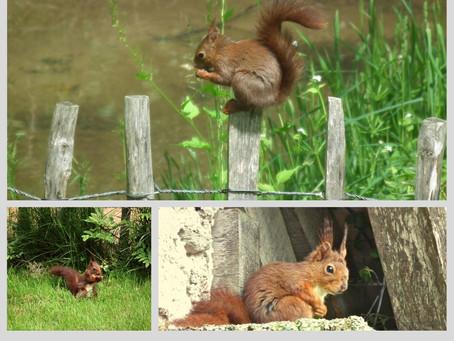 Ecureuil roux...